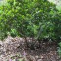 Rhamnus californica 'Mound San Bruno'