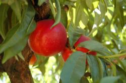 Nectarine on tree