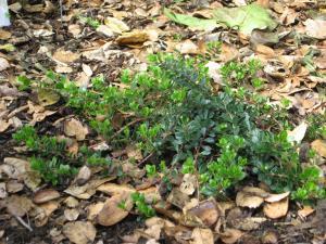 Arctostaphylos U0027Emerald Carpetu0027