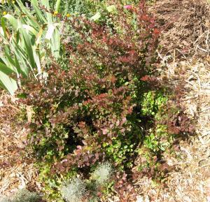 Berberis thunbergii 'Crimson Pigmy'