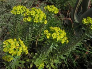 Euphorbia rigida