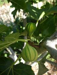 Ficus carica 'Panachée'