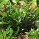 Heteromeles arbutifolia
