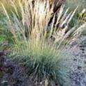 Muhlenbergia emersleyi