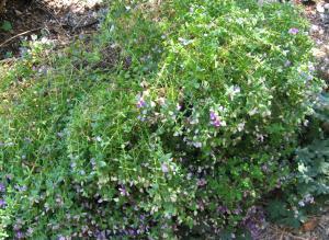 Polygala fruticosa 'Petite Butterfly'