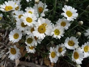Rhodanthemum hosmariense