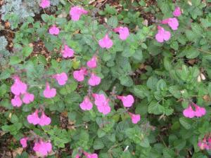Salvia microphylla 'UCB Pink'