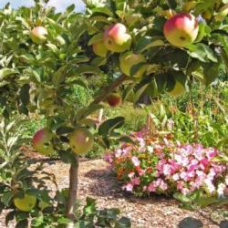 Espaliered apple trees at the Palo Alto Demo Garden