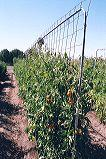 Conduit used to support wire mesh for tomatoes