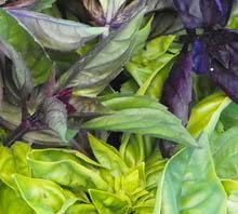 Basil leaves on plant