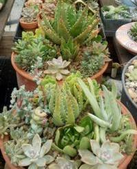Succulent plant arrangement
