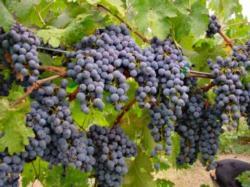 winegrapes_ucanr