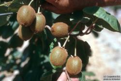 UCCE_Kiwifruit