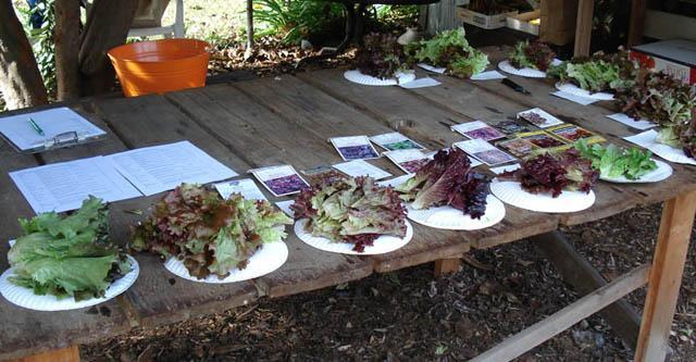 Lettuce tasting