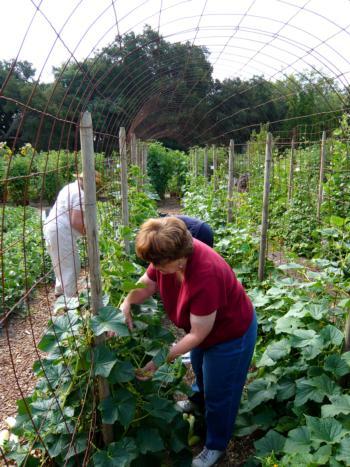 Harvesting cucumbers (Photo: Barbara Williams-Sheng)