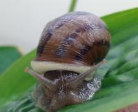 snail ucanr