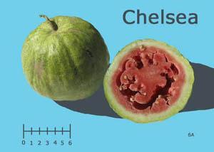 Chelsea watermelon