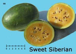 Sweet Siberian watermelon