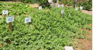 Watermelon vines in trial plot